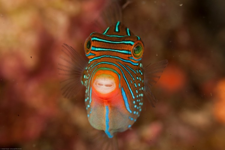 Critters Lembeh, Sulawesi