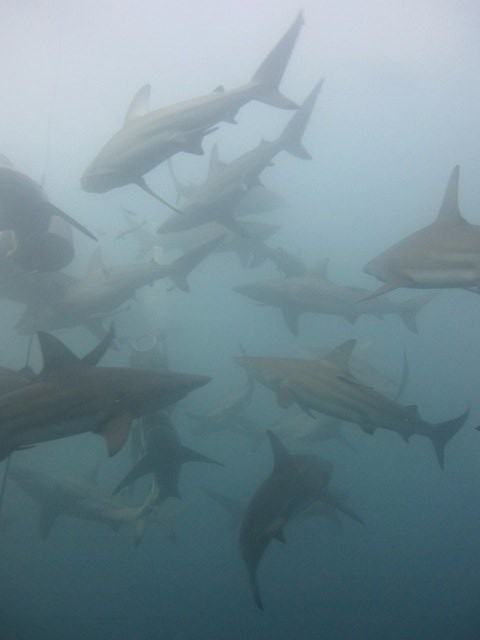 Nomad & Lutwala Shark Tours, dive company - South Africa